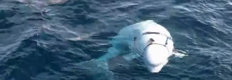 Российский кит-разведчик отказывается покидать Норвегию