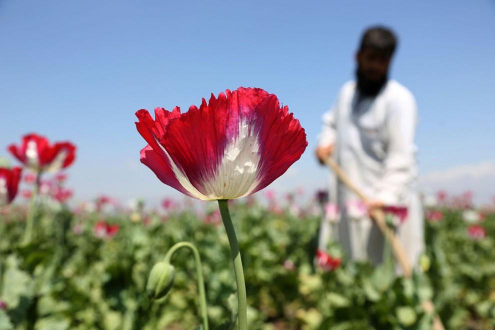 Афганский мак